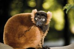 Stock Photo of Germany, Gelsenkirchen, Zoom Erlebniswelt, Red ruffed lemur