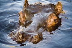 Stock Photo of Germany, Gelsenkirchen, Zoom Erlebniswelt, Hippopotamus