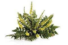 Mahonia aquifolium flowers (Mahonia aquifolium) Stock Photos