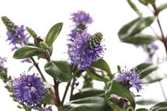 Hebe plant abloom, close-up - stock photo
