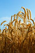 some wheat ears with blue sky - stock photo