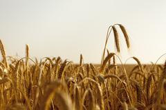 two wheat ears rise high above the field - stock photo