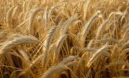 Stock Photo of wheat ears in a field