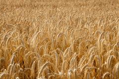 wheat field texture - stock photo