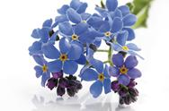 Stock Photo of Forget-me-not (Myosotis sylvatica), close-up