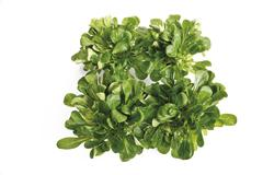 Field salad, elevated view - stock photo