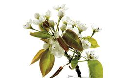 Blossoms of nashi pear (Pyrus pyrifolia), close-up - stock photo