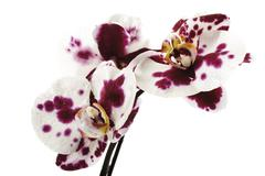 Orchid blossoms (Orchidaceae), close-up - stock photo