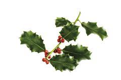 Holly twig (Ilex aquifolium), close-up Stock Photos