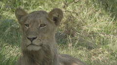 Lioness - stock footage