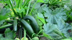 Watering Zucchini In A Garden Stock Footage