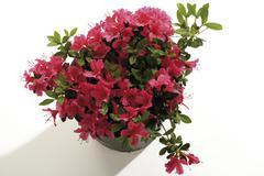 Azalea, Rhododendron simsii, close-up Stock Photos