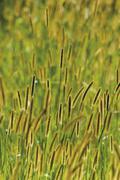 Barley (Hordeum vulgaris), close-up - stock photo
