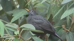 Blackbird (turdus merula) perched on branch Stock Footage