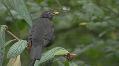 Blackbird (turdus merula) perched on branch - dorsal view Stock Footage