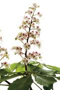 Chestnut flowers (Aesculus hippocastanum), close-up - stock photo