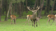 Red deer dominant bull in harem scares off a juvenile competitor - stock footage