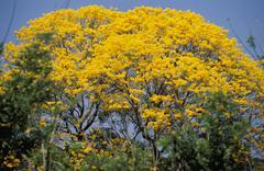 Puy or Ipe-Tree, Bignoniaceae - stock photo