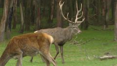 Red deer (cervus elaphus) rut, dominant bull chasing hinds Stock Footage