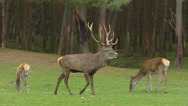 Stock Video Footage of European Red deer (cervus elaphus) in rut, dominant bull in harem bugling