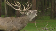 Stock Video Footage of European Red deer rut, dominant bull bugling