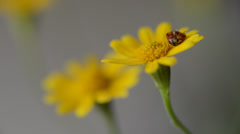 Lady bird on a yellow flower macro shot Stock Footage