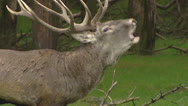Stock Video Footage of European Red deer rut, dominant bull bugling - side view