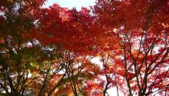 Japanese Maple Trees Pan Shot in Autumn in Japan Stock Footage