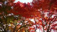 Stock Video Footage of Japanese Maple Trees Pan Shot in Autumn in Japan