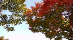 Japanese Maple Trees in Autumn in Japan - stock footage