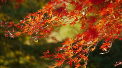 Japanese Maple Trees in Autumn in Japan Stock Footage
