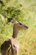 Africa, Cape Town, Impala antelope in long grass - stock photo