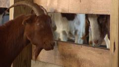 Goats in a Barn Stock Footage