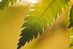 Leaf mountain ash, large. Stock Photos