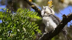 Kookaburra feeding its chick Stock Footage