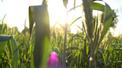 Wheat field close-up in the morning, camera motion, sun beams Stock Footage