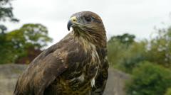 Bird of prey - common buzzard. Stock Footage