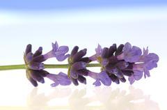 Lavender flower (Lavandula angustifolia) Stock Photos