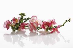 Snapdragon flower (Antirrhinum) - stock photo