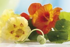 Nasturtium flowers (Tropaeolum), close-up Stock Photos