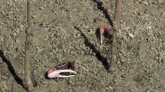 Fiddler crab feeding PAL - stock footage