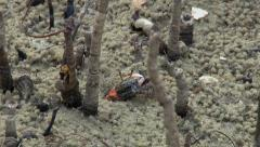Fiddler crab emerging from nest NTSC Stock Footage