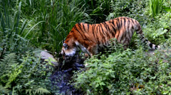 tiger - stock footage