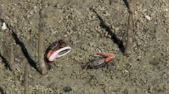 Fiddler crabs NTSC Stock Footage