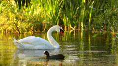 Common Coot and Mute Swan feeding in the lake, water birds in the morning Stock Footage