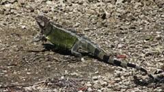 Green Florida Keys Iguana Walking Stock Footage