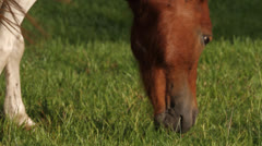 Mini Horse Eating Grass Stock Footage