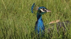 Peacocks Looks Around Stock Footage