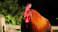 Rooster On Fence - stock footage