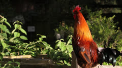 Rooster Perched On Fence - stock footage